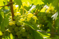 Grapes on a vineyard. Bunch of vine grapes on a vineyard stock photography