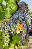 Grapes in a vineyard in Central Italy Stock Photos