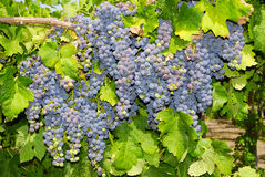 Grapes in a vineyard in Central Italy Stock Images
