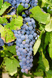 Grapes in a vineyard in Central Italy Royalty Free Stock Photo
