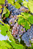 Grapes in a vineyard in Central Italy Royalty Free Stock Image