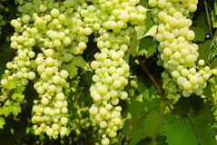 Grapes in a vineyard in Central Italy Stock Photo