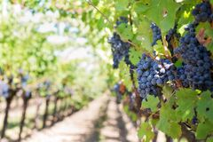 Grapes on Vineyard during Daytime Stock Photos