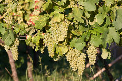 Grapes in vineyard at the end of summer Royalty Free Stock Image