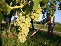 Grapes in vineyard at the end of summer Stock Photo