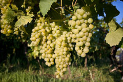 Grapes in vineyard at the end of summer Stock Photos