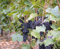 Grapes in a Vineyard in France. Red grapes hanging on vine in the region outside of Paris France Royalty Free Stock Photo
