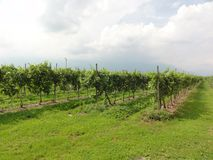 Grapes in a Vineyard. Grapes growing in lines at a vineyard, blue sky and white clouds on a sunny day stock photos