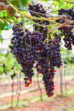 Grapes in vineyard with green leaves Stock Images