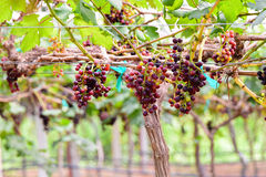 Grapes in vineyard with green leaves sunrise time Royalty Free Stock Image