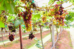 Grapes in vineyard with green leaves sunrise time Stock Photography