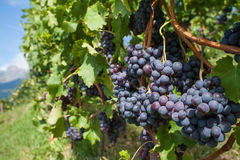 Grapes in a vineyard Royalty Free Stock Photo