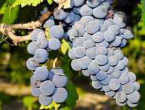 Grapes in a vineyard in Italy Royalty Free Stock Photos
