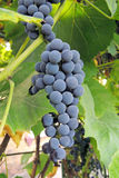 Grapes in vineyard. Large bunch of red wine grapes hang from a vine, warm. Ripe grapes with green leaves. Nature background with Vineyard Royalty Free Stock Photo