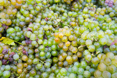 Grapes from the vineyard Royalty Free Stock Image