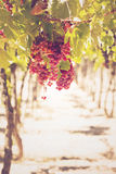 Grapes in vineyard. Mendoza, Argentina Royalty Free Stock Images