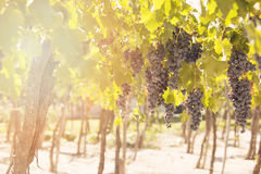 Grapes in vineyard. Mendoza, Argentina Royalty Free Stock Photos