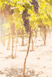 Grapes in vineyard. Mendoza, Argentina Royalty Free Stock Photo