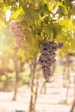 Grapes in Vineyard. Mendoza, Argentina Stock Images