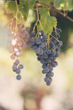 Grapes in vineyard. Mendoza, Argentina Stock Photos