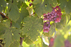 Grapes in vineyard. Mendoza, Argentina Stock Image