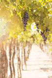Grapes in vineyard. Mendoza, Argentina Royalty Free Stock Photography