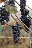 Grapes in vineyard. Nature background with Vineyard. Autumn Stock Photos