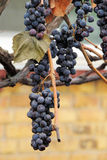 Grapes in vineyard. Nature background with Vineyard. Autumn Royalty Free Stock Images