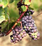 Grapes in Vineyard at Niagara-on-the-Lake, Canada. Two large bunches of ripening red grapes at a vineyard in Niagara-on-the-Lake in Ontario, Canada.  Photo taken Stock Images