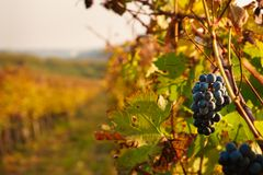 Grapes in vineyard in October, Autumn colors in Vineyard royalty free stock photo