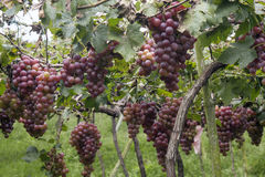 Grapes in vineyard Stock Photography