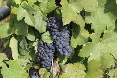 Grapes in the vineyard. The vineyard / Grapes are ripening in the vineyard Stock Photos