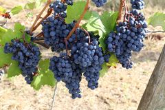 Grapes in the vineyard. The vineyard / Grapes are ripening in the vineyard Royalty Free Stock Images