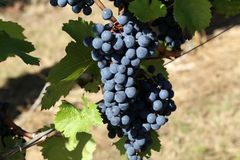 Grapes in the vineyard. The vineyard / Grapes are ripening in the vineyard Royalty Free Stock Photo