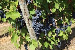 Grapes in the vineyard. The vineyard / Grapes are ripening in the vineyard Stock Photo