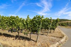 Grapes in the vineyard Stock Photography
