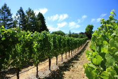 Grapes in vineyard. Rows of rapes growing in a california vineyard Royalty Free Stock Photography