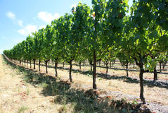 Grapes in vineyard. Rows of rapes growing in a california vineyard Stock Photos