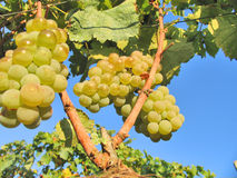 Grapes. In the vineyard on the sunny day Royalty Free Stock Photos