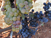 Grapes. In the vineyard on the sunny day Royalty Free Stock Photography