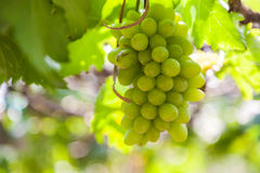 Grapes in vineyard on a sunny day Stock Photo