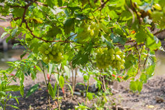 Grapes in vineyard on a sunny day Stock Images