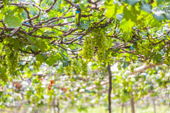 Grapes in vineyard on a sunny day Royalty Free Stock Images