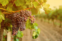 Grapes in vineyard sunset Stock Photo