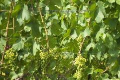 Grapes Royalty Free Stock Image