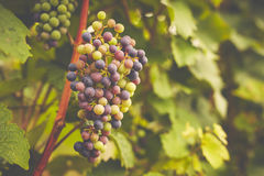 Grapes in vineyard, toned Stock Images