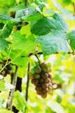 Grapes in the vineyard Royalty Free Stock Image