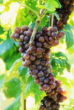 Grapes in the vineyard. Grapes under the sunlight, in the vineyard Royalty Free Stock Photography