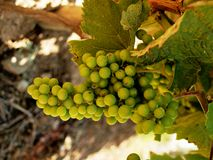 Grapes in vineyard unripe, raw Royalty Free Stock Photo