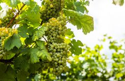 Grapes in vineyard in the Wachau, Austria. Europe royalty free stock photo